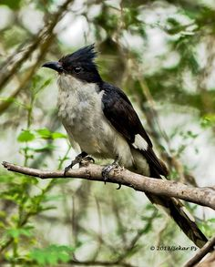 Jacobin Cuckoo, Pied Cuckoo, or Pied Crested Cuckoo is a member of the cuckoo order of birds that is found in Africa and Asia. By Sekar Ps. Erode, TN, India.
