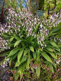 Arthropodium cirratum.Great fill in plant for underplanting.