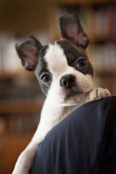 How can you resist this face? Cute Boston Terrier puppy. Tommy Times Ten - 10 by Back in the Pack on Flickr