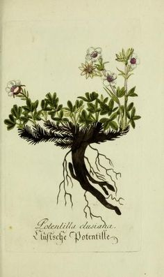 Jarhg.6 (1792) - Plantarum indigenarum et exoticarum icones ad vivum coloratae, oder, Sammlung nach der Natur gemalter Abbildungen inn- und ...