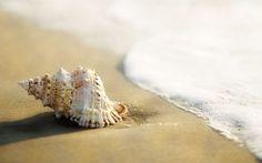 Whelk Shell Widescreen Wallpaper