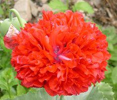 Red Peony Poppy