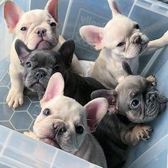 The major breeds of bulldogs are English bulldog, American bulldog, and French bulldog. The bulldog has a broad shoulder which matches with the head. French Bulldog Full Grown, Blue French Bulldog Puppies, Bulldog Puppies For Sale, Cute French Bulldog, Cute Dogs And Puppies, Pet Dogs, Doggies, Chihuahua Dogs, Bulldog Breeds