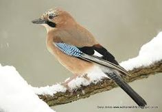 British garden birds - Jay Occasionally flies through in England but seen almost daily in France.