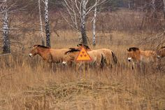 Life After Chernobyl: Unique Wildlife of the Zone – 12 Pictures Japan Nuclear, Reactor Nuclear, Radiation Exposure, Nuclear Power, Abandoned, Creepy, Backdrops, Wildlife, Horses
