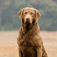 Chesapeake Bay Retriever- I want one of these dogs!!! They're huge and cute!!