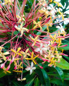 Here's a fragrant ixora from Nani Mau #Gardens on #Hawaii, the #BigIsland. #gohawaii #alohafriday #flowers
