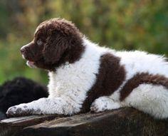 De 10 beste afbeeldingen van Wetterhoun | Honden, Dieren ...