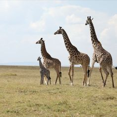 These lovely Giraffes were spotted in Maasai Mara embracing a newborn baby. It's a sight for sore eyes to see how protective and caring they are of the tiny one. #wildlifeprotection #wildlifeconservation #wildlife #wildlifephotography #giraffe #animals #animal #animalwelfare #animallovers #photography #maasaimara #community #travelafrica #extinction #poaching #habitat #habitatforhumanity