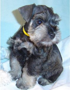 Mini schnauzer puppy, what a sweet and adorable little pup