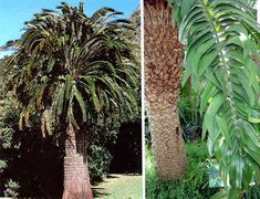 encephalartos-woodii, one of the rarest plants in the world, found in Southern Africa