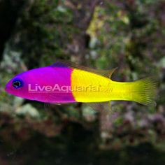 1000 images about saltwater aquarium on pinterest for Saltwater fish for small tank