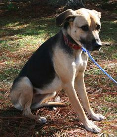 Reesie and Kocomo arrived at the shelter together and seem to be very good friends. Reesie is a 3 to 4 year old spayed female doxie/shepherd cross, about 25 pounds. She is good on a leash, very friendly, loving and outgoing. Kocomo is a 1 year old...