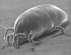 Dust Mites: The Microscopic Threat to Your Family's Health and Tips For Eliminating Them In Your Home