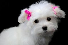 Adorable Maltese Puppies. For more cute puppies, check out our youtube channel: https://www.youtube.com/channel/UCH7efODYtEdnWfAm1eS4NMA