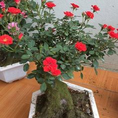 Pots, Rose Vase, Beautiful Roses, Compost, Fountain, Garden Ideas, Insects, Gardening, Green