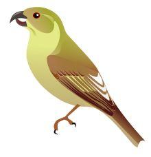 Lāna'i Hookbill - exctinct finch from hawaii