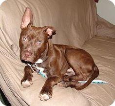 Livonia, MI - Pit Bull Terrier. Meet Sherman, a dog for adoption. http://www.adoptapet.com/pet/11954030-livonia-michigan-pit-bull-terrier