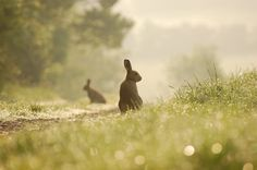 https://flic.kr/p/4TZWL2 | Irish Hare | This photo was taken at around 6am. The heavy dew adds a nice touch to the picture.