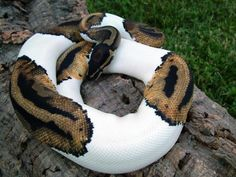 Piebaldism is controlled genetic trait that prevents the normal coloring from filling in, instead showing as white areas.  Ball pythons are one of two snake species where this is commonly seen.