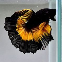 Betta Fish Tank, Beta Fish, Aquarium Fish Tank, Colorful Fish, Tropical Fish, Fish Tank Themes, Fisher, Betta Fish Types, Siamese Fighting Fish
