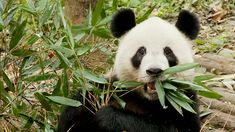 This high-quality Rights Managed HD stock shot about Panda / Eating / Bamboo / China is ready for instant licensing and customized download. Black And White Colour, Panda Bear, Stock Video, Stock Footage, China, Bamboo, Panda, Pandas, Porcelain