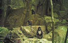 Phayre's langurs from #wildlife #conservation #ecotourism camera traps in Nam Et-Phou Louey National Protected Area in Laos. www.namet.org