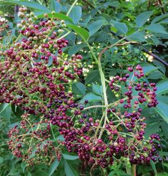 Foraging for Elderberries: How to identify, where to find it, and how to harvest the berries. Detailed photos for ID.