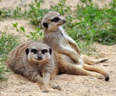Meerkats (Suricata Suricatta) relaxing in the sun. Wild Creatures, All Gods Creatures, Animals And Pets, Baby Animals, Cat Stands, Wild Dogs, African Animals, Cute Funny Animals, Sloth