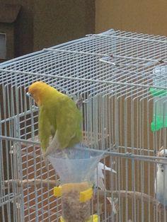 La visita de un perico muy colorido a la jaula de mis periquitos, comió de las semillas del dispensador de alimentos!! Imagen 2