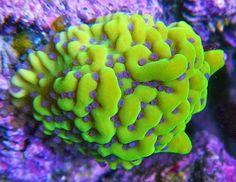Reid's 120g Oceanic Tech Build - Page 25 - Reef Central Online Community