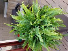 feng shui indoor plants - boston fern