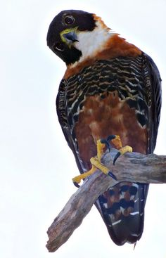 Foto falcão-de-peito-laranja (Falco deiroleucus) por Victor Castro   Wiki Aves - A Enciclopédia das Aves do Brasil