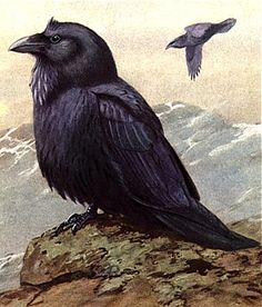 Raven#Repin By:Pinterest++ for iPad#