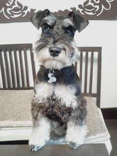Mini Schnauzer, Sasuke so darling✨