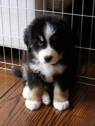 Sweet Bernese Mountain puppy