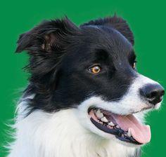 Bedford Dog Walker - (Dog Walking, Pet Sitting & Pet Transport Services)