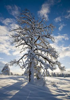 Ponderosa Pine - Flagstaff, Arizona