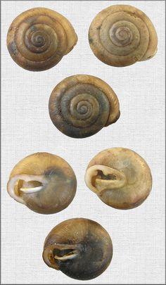 Inflectarius inflectus (Say, 1821) Shagreen
