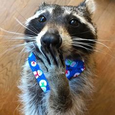 Oh, pardon me☺️! Animal Facts, Animal Quotes, Animal Memes, Animals And Pets, Baby Animals, Funny Animals, Cute Animals, Baby Raccoon, Racoon
