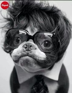 Dog Wearing Glasses, Wig, and Necktie. Hilarious! Best Animal Picture Ever Perhaps