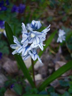 A Puskin csillagvirág (Puschkinia scilloides var libanotica) a kis hagymájú hagymások közé tartozik, apró termetű, de légies, tündéri megjelenésű növény, ráadásul igénytelen. Nem szabad kihagyni a kora tavaszi kertekből. http://kertlap.hu/puskin-csillagvirag-a-termeszetes-kertek-koratavaszi-disze/