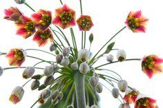 Nectaroscordum.  #floweroftheday #flowerlove #butchartgardens