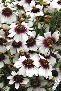 Coreopsis 'Sweet Dreams' - A stunning combination of stark white and deep raspberry pink. Height 2', Zones 4-9