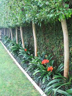 Clivia provide winter colour and Ficus pimula covers fences behind pleached trees Backyard Pool Landscaping, Backyard Garden Design, Tropical Landscaping, Tropical Garden, Landscaping Ideas, Hydrangea Landscaping, Driveway Landscaping, Patio Ideas, Shade Garden