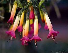 Resultado de imagen para cantuta flor