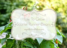 How to grow Scarlet Runner Beans. More commonly known as the Runner Bean, these beautiful and vibrant flowering vines produce a delicious harvest.