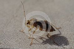 Brown Bug With Long Antennas Stock Photo - Image of wildlife, antennas: 102875338 Wildlife, Stock Photos, Animals, Image, Insects, Animales, Animaux, Animal, Animais