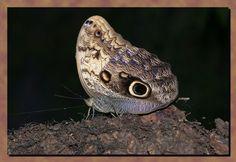 nachtoog vlinder - Google zoeken
