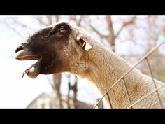 The Screaming Sheep, I laughed soo hard!